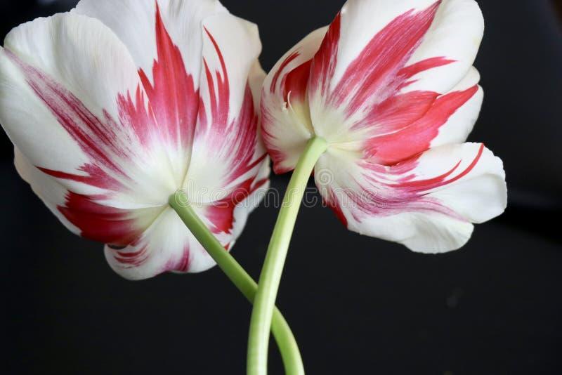 Tulipani rossi e bianchi di grande perfezione della fiamma delle bande immagini stock