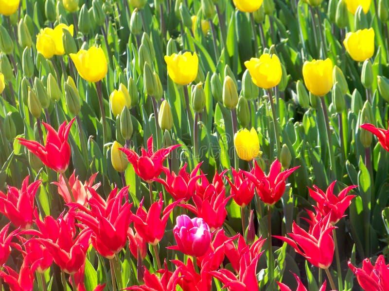 Tulipani rossi e gialli fotografia stock libera da diritti