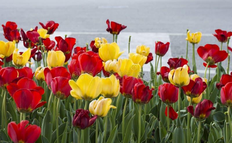 Tulipani rossi e gialli fotografie stock