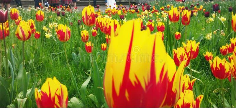 Tulipani rossi e gialli con erba immagine stock libera da diritti