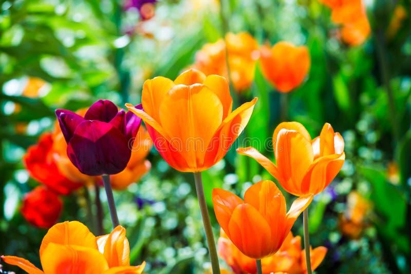 Tulipani rossi e porpora arancio variopinti sul campo verde di Bokeh alla luce solare Primavera ed estate fotografia stock libera da diritti