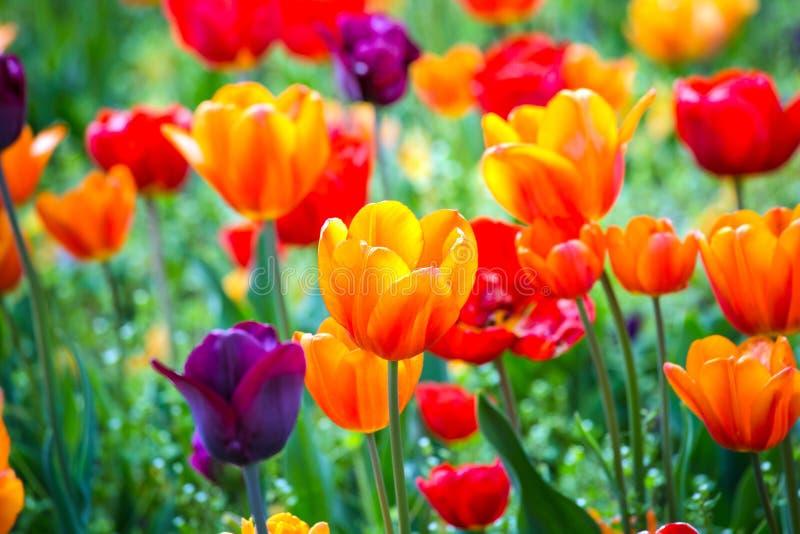 Tulipani rossi e porpora arancio variopinti sul campo verde Fondo e luce solare di Bokeh dalla cima fotografia stock libera da diritti
