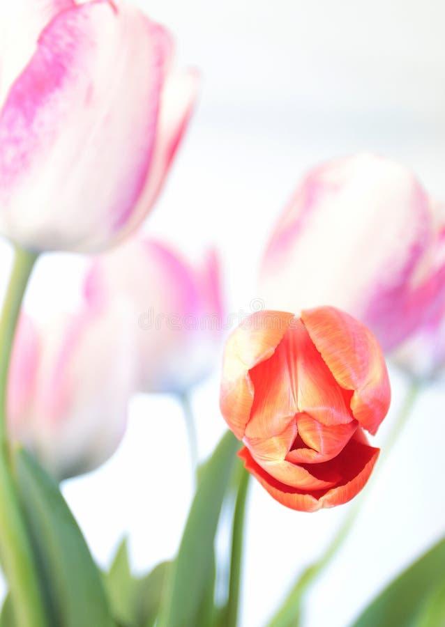 Tulipani rossi e porpora su fondo bianco fotografie stock