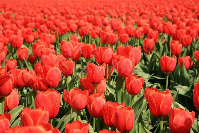 Tulipani rossi - fiore fotografia stock libera da diritti