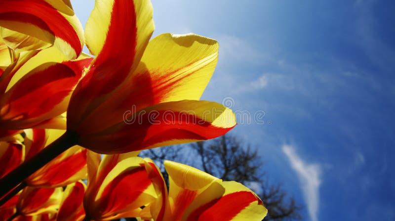 Tulipani rossi gialli luminosi fotografia stock libera da diritti