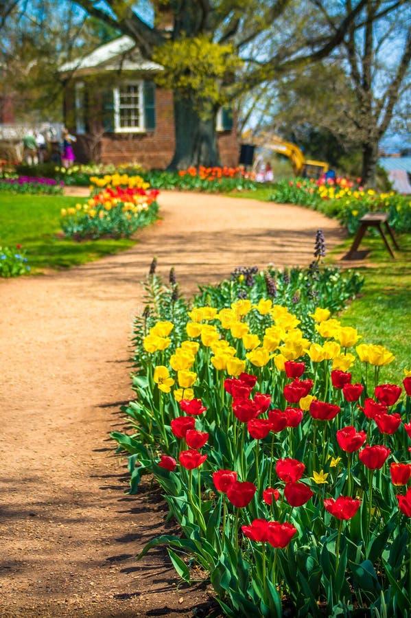 Tulipani rossi & gialli sul percorso immagine stock