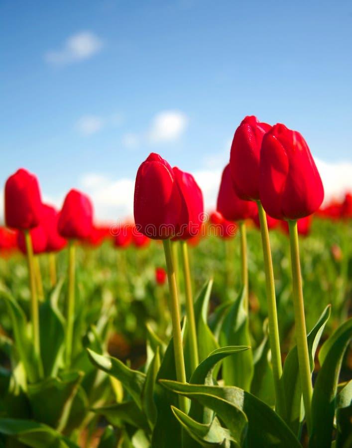 Tulipani rossi luminosi in primavera immagine stock libera da diritti