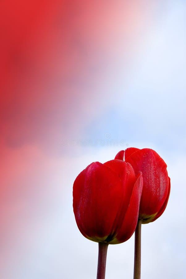 Tulipani Rossi Migliorati Fotografia Stock