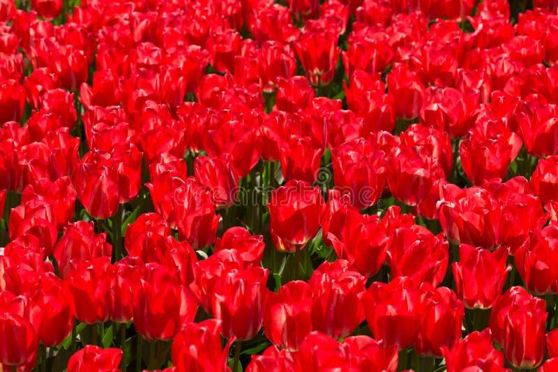 Tulipani rossi nel parco Keukenhof immagine stock