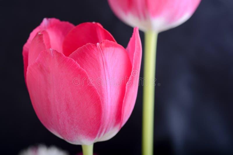 Download Tulipani Rossi Sul Nero, Fiori Immagine Stock - Immagine di isolato, amore: 55351815