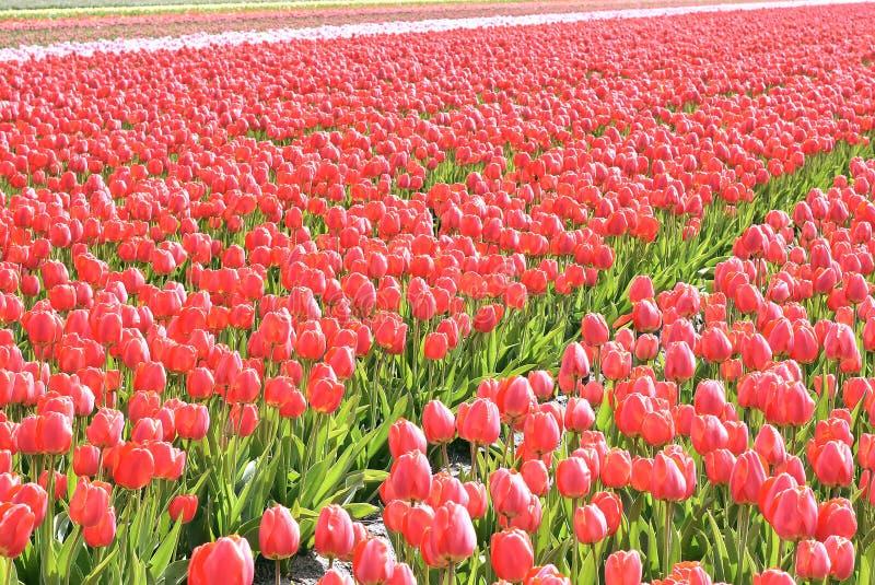 Tulipani rossi in un campo Questi fiori sono stati sparati in Olanda i Paesi Bassi immagine stock