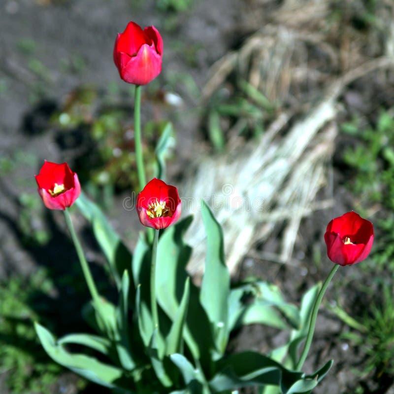 Tulipani rossi in un fuoco molle - la molla fiorisce nel giardino fotografia stock libera da diritti