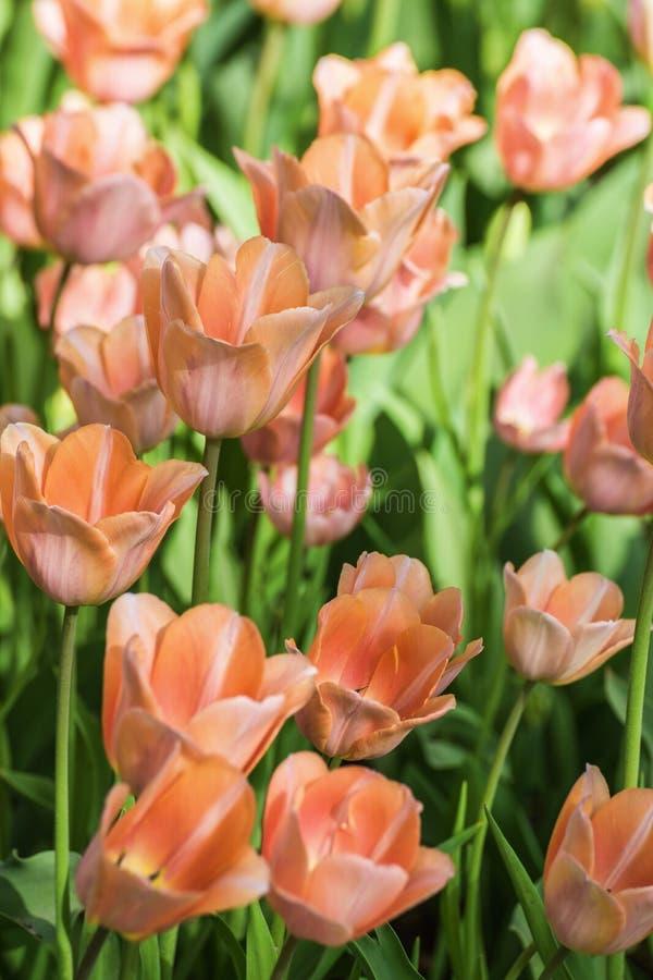 Tulipani rosso arancio fotografie stock