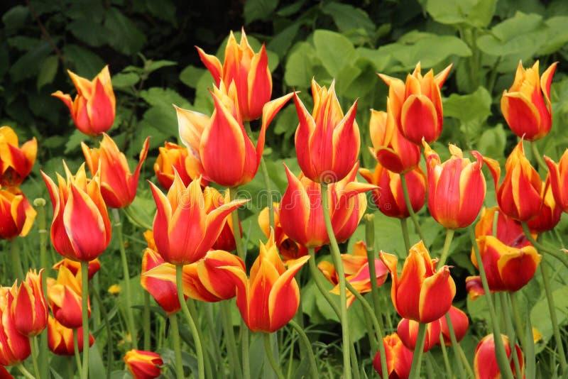 Tulipani selvatici immagine stock