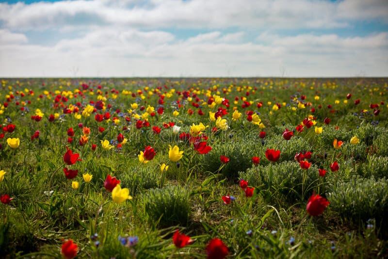 Tulipani selvatici Shrenka fotografia stock