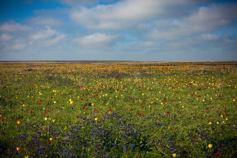 Tulipani selvatici Shrenka immagini stock