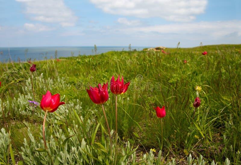 Tulipani selvatici sulla spiaggia fotografia stock
