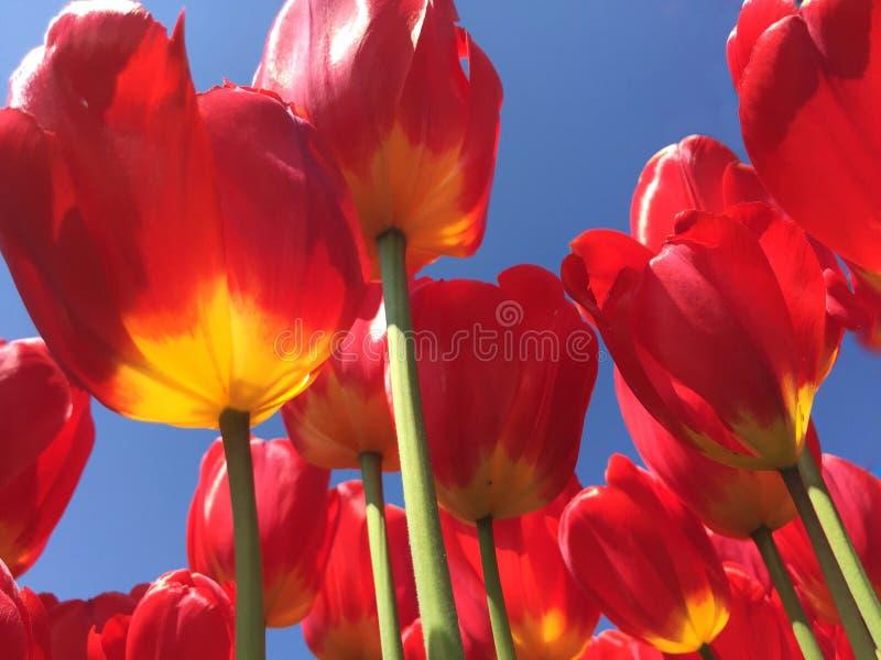 Tulipani sommersi della sorgente fotografie stock libere da diritti