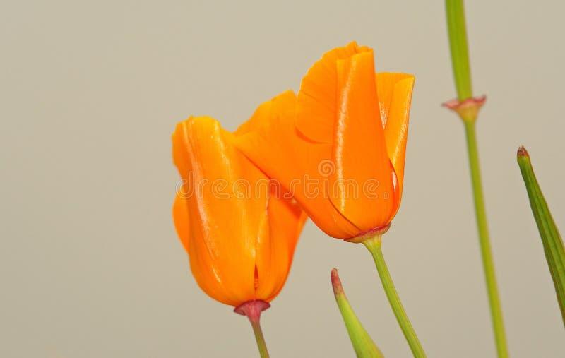 Tulipani sul cielo immagine stock libera da diritti