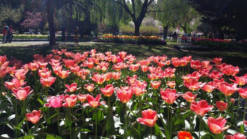 Tulipani un giorno di molla fotografia stock libera da diritti