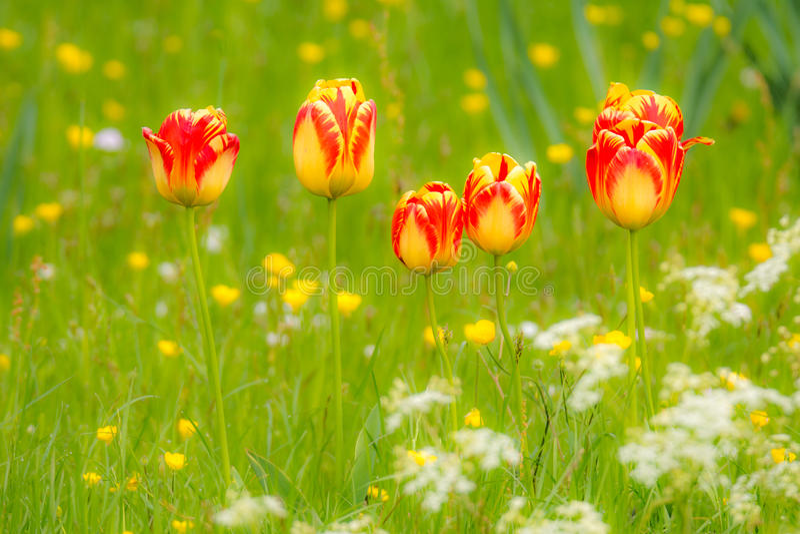 Tulipani in un prato del fiore fotografie stock