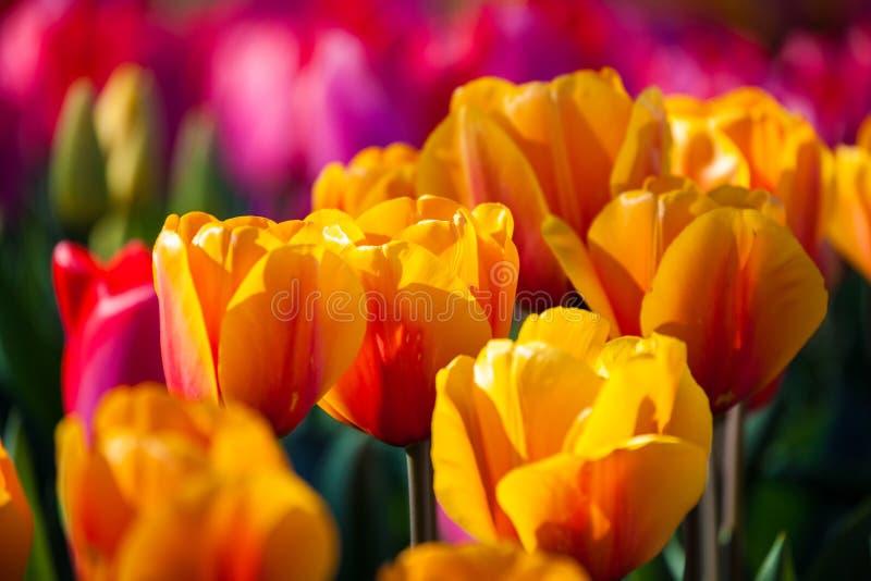 tulipani variopinti della sorgente fotografie stock libere da diritti