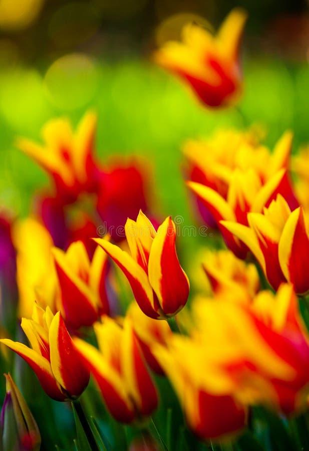 tulipani variopinti della sorgente fotografia stock