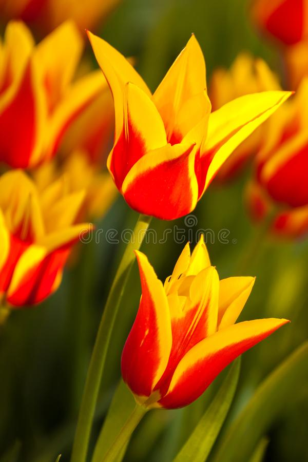 tulipani variopinti della sorgente immagine stock libera da diritti