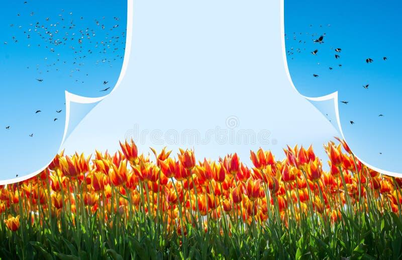Tulipani variopinti di fioritura freschi della stagione primaverile immagini stock
