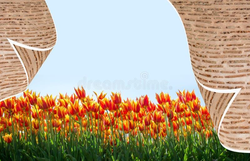 Tulipani variopinti di fioritura freschi della stagione primaverile immagine stock libera da diritti