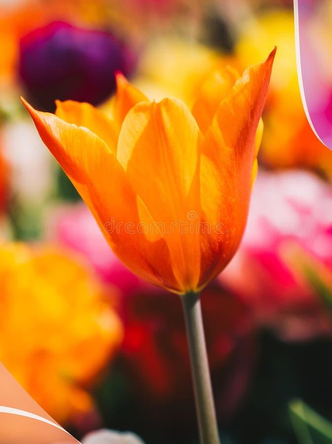 Tulipani variopinti di fioritura freschi della stagione primaverile fotografia stock