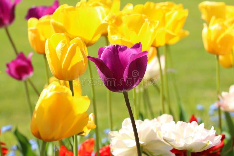 Tulipani variopinti in giardino botanico, Zagabria, Croazia fotografie stock libere da diritti