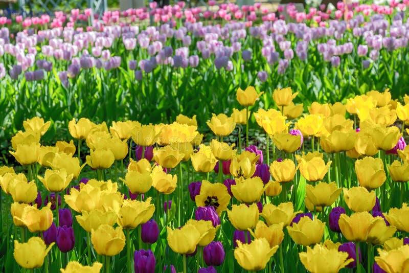 Tulipani variopinti sull'aiola fotografia stock libera da diritti