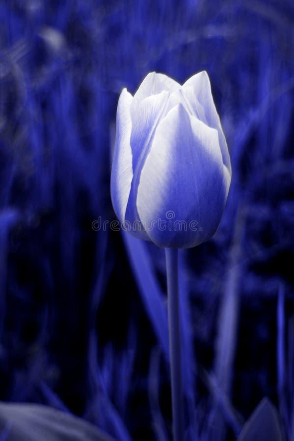 Download Tulipano fotografia stock. Immagine di molla, terreno, orticoltura - 221836