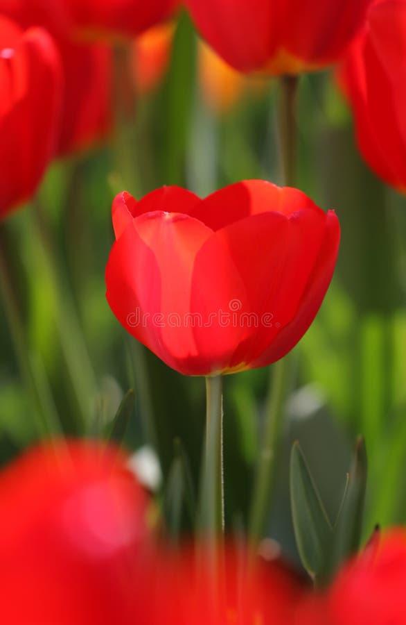 Tulipano fotografie stock libere da diritti