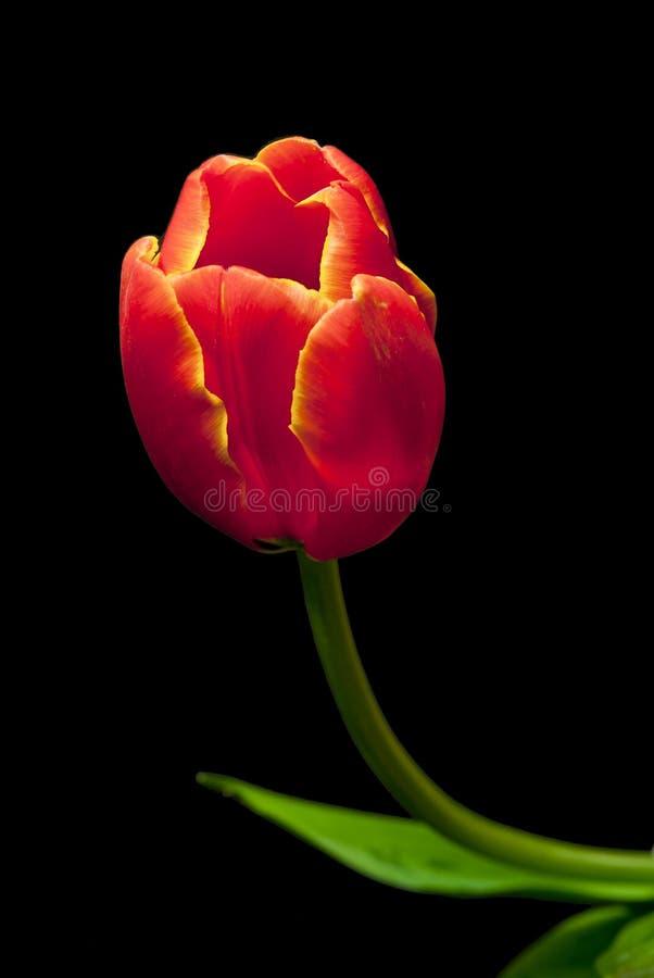 Tulipano arancione immagine stock