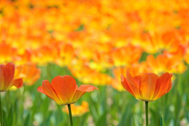 tulipano arancione fotografie stock libere da diritti