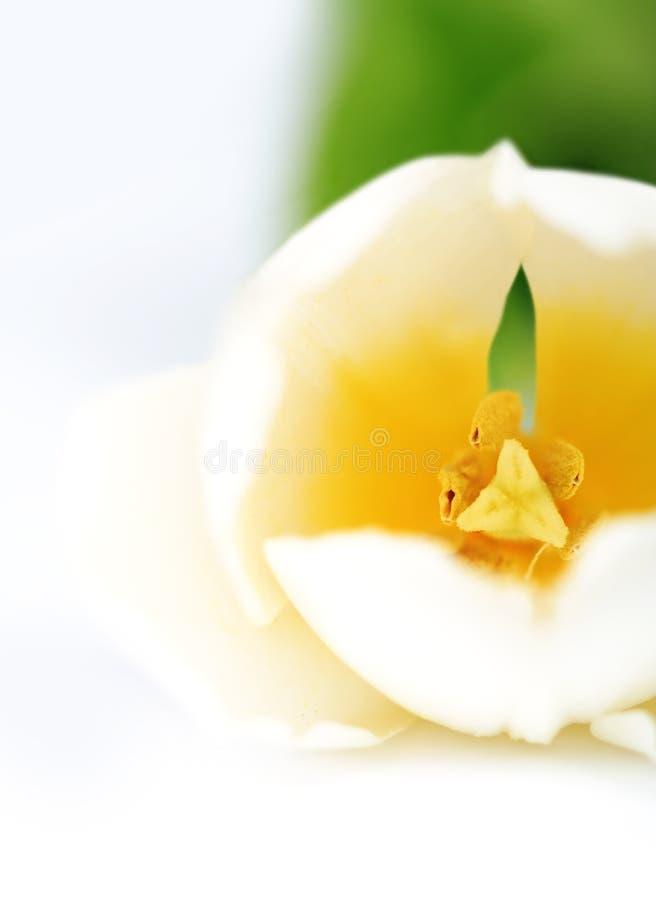 Tulipano bianco fotografie stock
