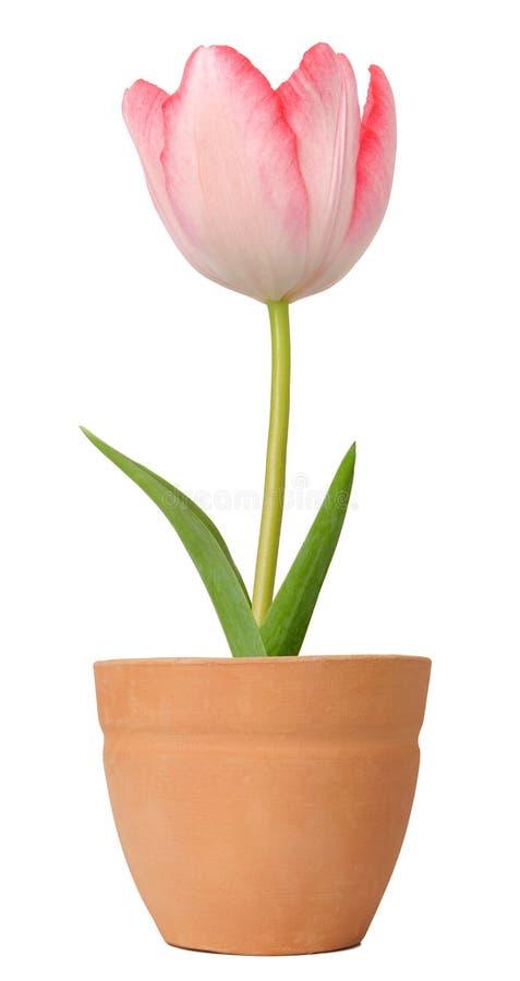 Tulipano che cresce in un POT di fiore immagine stock