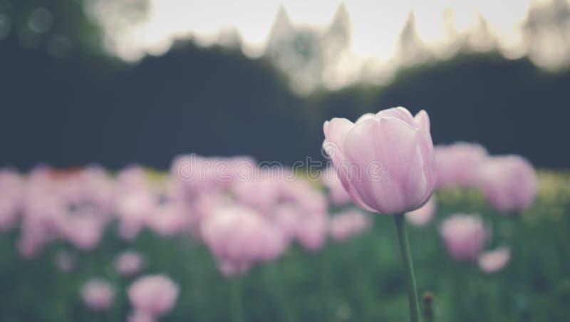 Tulipano con il fondo della sfuocatura fotografia stock