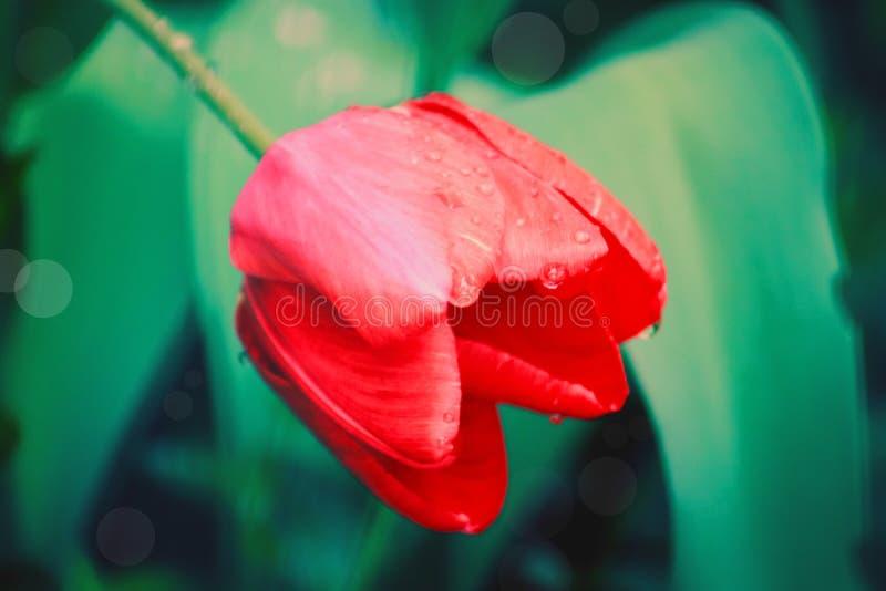Tulipano con le goccioline della pioggia immagine stock libera da diritti