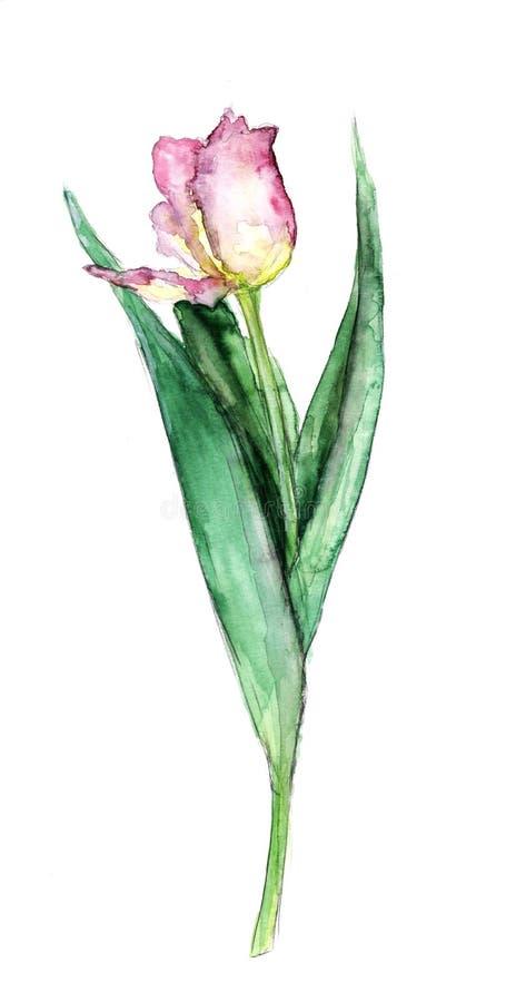 Tulipano con permesso su un fondo bianco immagini stock libere da diritti