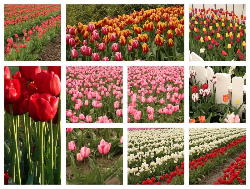 tulipano del collage fotografia stock libera da diritti