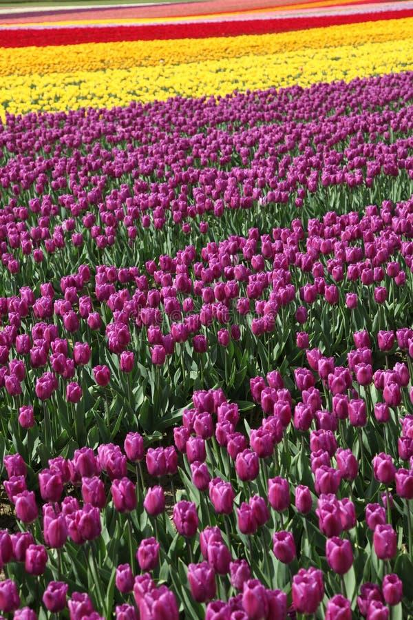 Tulipano del fiore fotografia stock