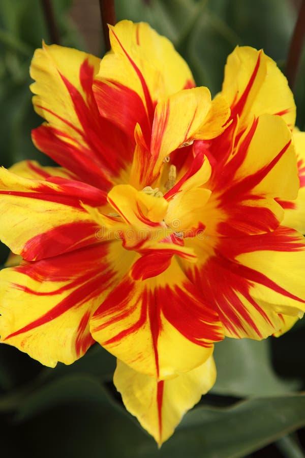 tulipano del fiore uno fotografie stock libere da diritti