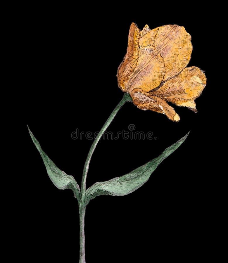 Tulipano dell'annata dell'acquerello immagini stock