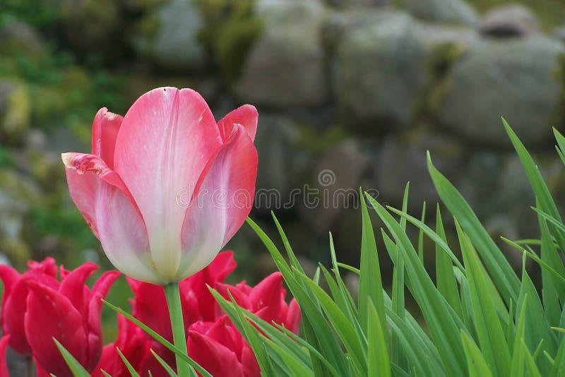 Tulipano dentellare immagini stock