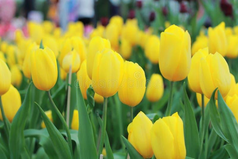 Tulipano di fioritura variopinto fotografia stock libera da diritti