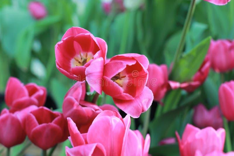 Tulipano di fioritura variopinto immagine stock libera da diritti