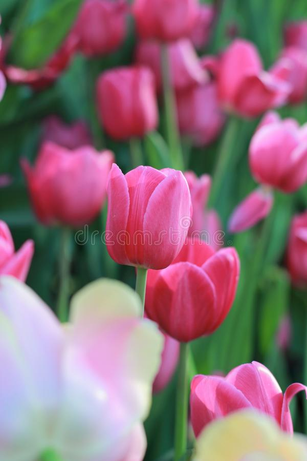 Tulipano di fioritura variopinto immagini stock